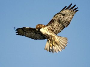red-tailed-hawk_681_600x450